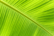 Close up of fresh banana leaf