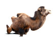 Sitting bactrian camel on white background with shade