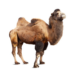 Standing bactrian camel on white background