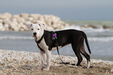 Young black and white  American Staffordshire Terrier at the sea
