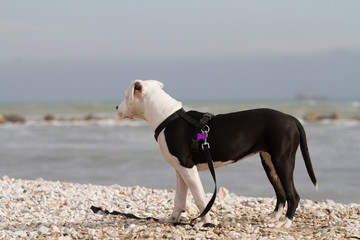 American Staffordshire Terrier white and black