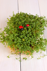 Fresh garden cress with ladybugs close-up on wooden table