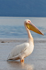 Great White Pelican in water