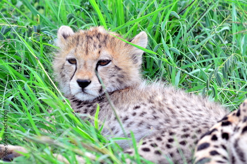 Cheetah cub at Serengeti National Park in Tanzania