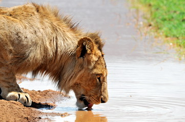 Male Lion Drinking