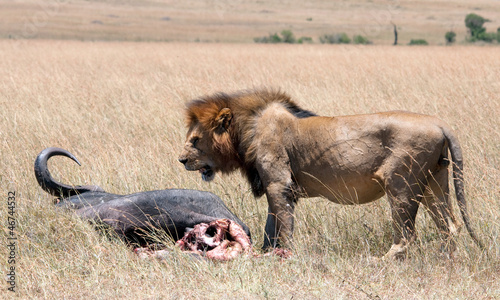 Up close & personal with a male lion & his prey in the Mara.