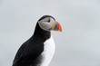 Portrait of an Atlantic Puffin.