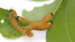 Four caterpillars , eating leafs
