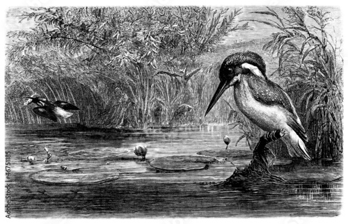 Bird : Kingfisher - Martin-Pêcheur