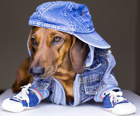 Jeans dog