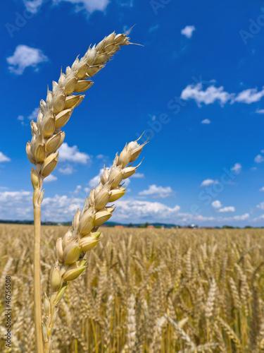 Gerste auf einem Feld