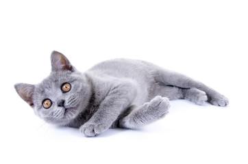 Junge Kartäuser Katze – liegend auf weiß