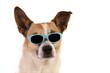 Jack russell, Hund mit Brille