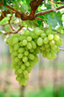 Picture of ripe white grape branch with grape leaves background