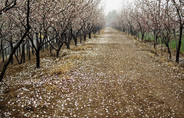 Apricot forest