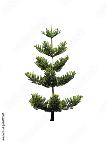 Isolated Pine Tree