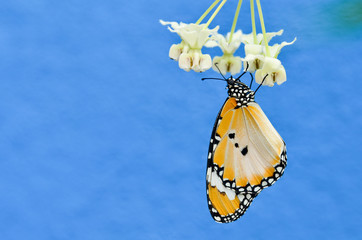 plain tiger butterfly on milkweed with blue background