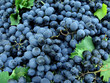 fresh harvested grapes as food background