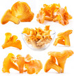 Collection of Edible wild mushroom chanterelle isolated on white
