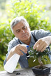 Senior man watering bonsai leaves