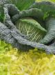 chou vert pommé dans salade