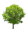 isolated green summer oak tree
