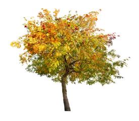 golden rowan tree with red berries