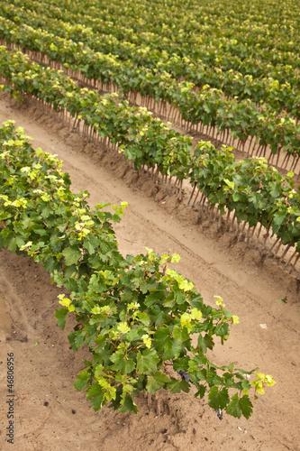 Jeunes plants de vigne
