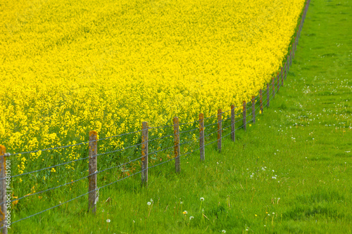 Yellow Rape Field