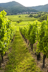 Vineyards in Alsace (France)