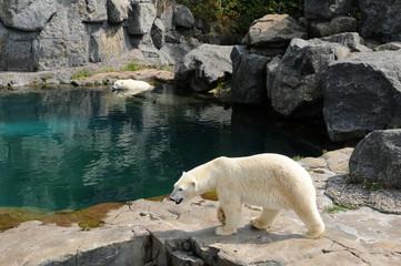 Quebec, bear in the Zoo sauvage de Saint Felicien