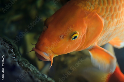 Koi fish swimming underwater (Cyprinus Rubrofuscus)