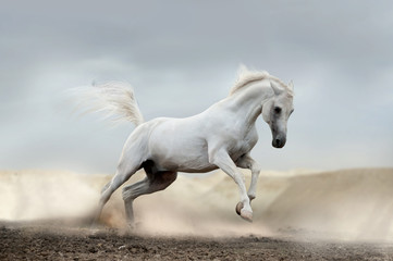 arab horse © Mari_art
