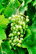 grapes  on green leaves  background