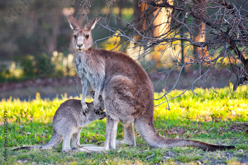 Poster Kangoeroe kangaroo and child