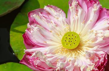 Pink Lotus, Roseum Plenum, Closeup, showing Lotus Seeds