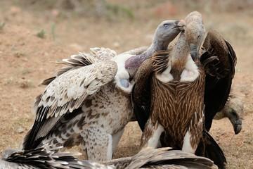 Grifone vs avvoltoio