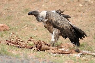 Avvoltoio in volo