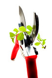 Red pruning shears pruning plant