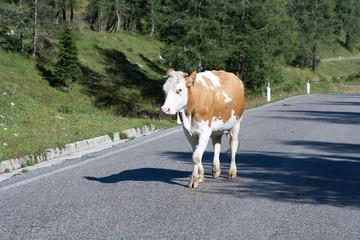 Mucca,Dolomiti
