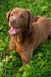Labrador ausgepowert