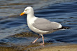 Closeup of herring gull walking at the water's edge