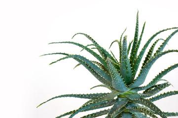 Aloe vera particolare