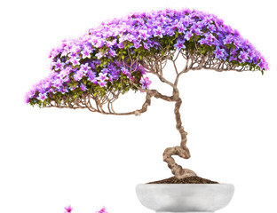 Bonsai potted tree ,side view,with a white background