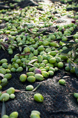 Olives scattered on the ground in the harvest day