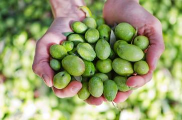 Hands holding green olives