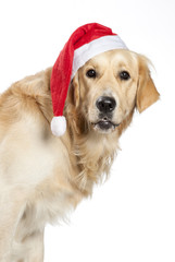 Golden retriever natalizio