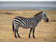 Safari -Zebra posing and curiously looking