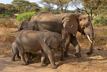 Family of elephants walking along the road