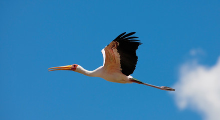 Yellow-Billed Stork, Lake Nakuru National Park, Kenya.